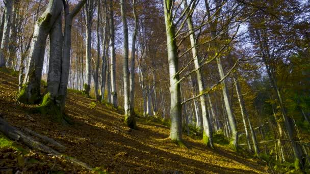 Podzimní les s padajícími listy. Příroda slunečná krajina s listnatými stromy ve zlaté žluté sezóně