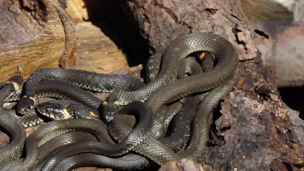 Had v divočině, záběr na divokou zvěř, nebezpečný had na dřevě