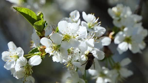 Třešňová větev s květy v jarním květu. Včela si užívá bílé scenérie.