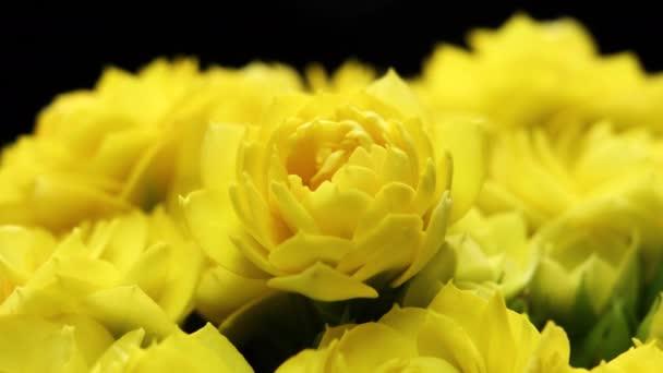 Otevírání žlutých květin. Jaro Krásný čas, extrémní zblízka. Kvetoucí pozadí na černé 4K video