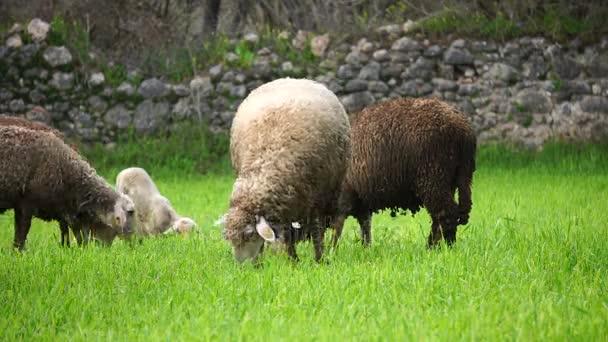die Schafe fressen Gras