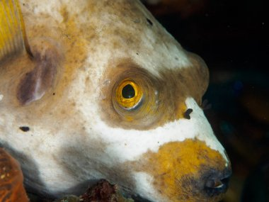 Close-up of Puffer fish