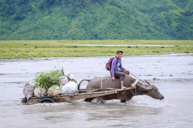 Unidentified Philippine man rides a cow carriage across the rive