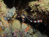Photo Underwater shirmp between reef