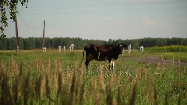A cow is grazing in a meadow.