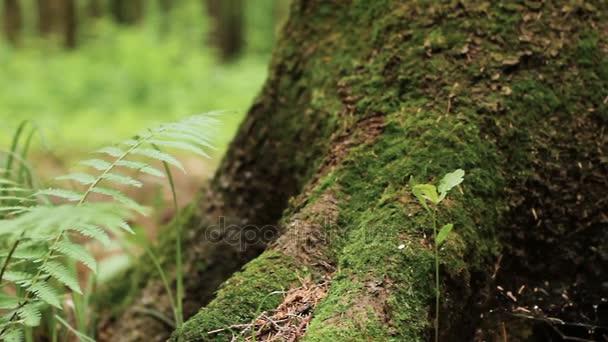 Makro rýžování záběr kapradin a pine Tree