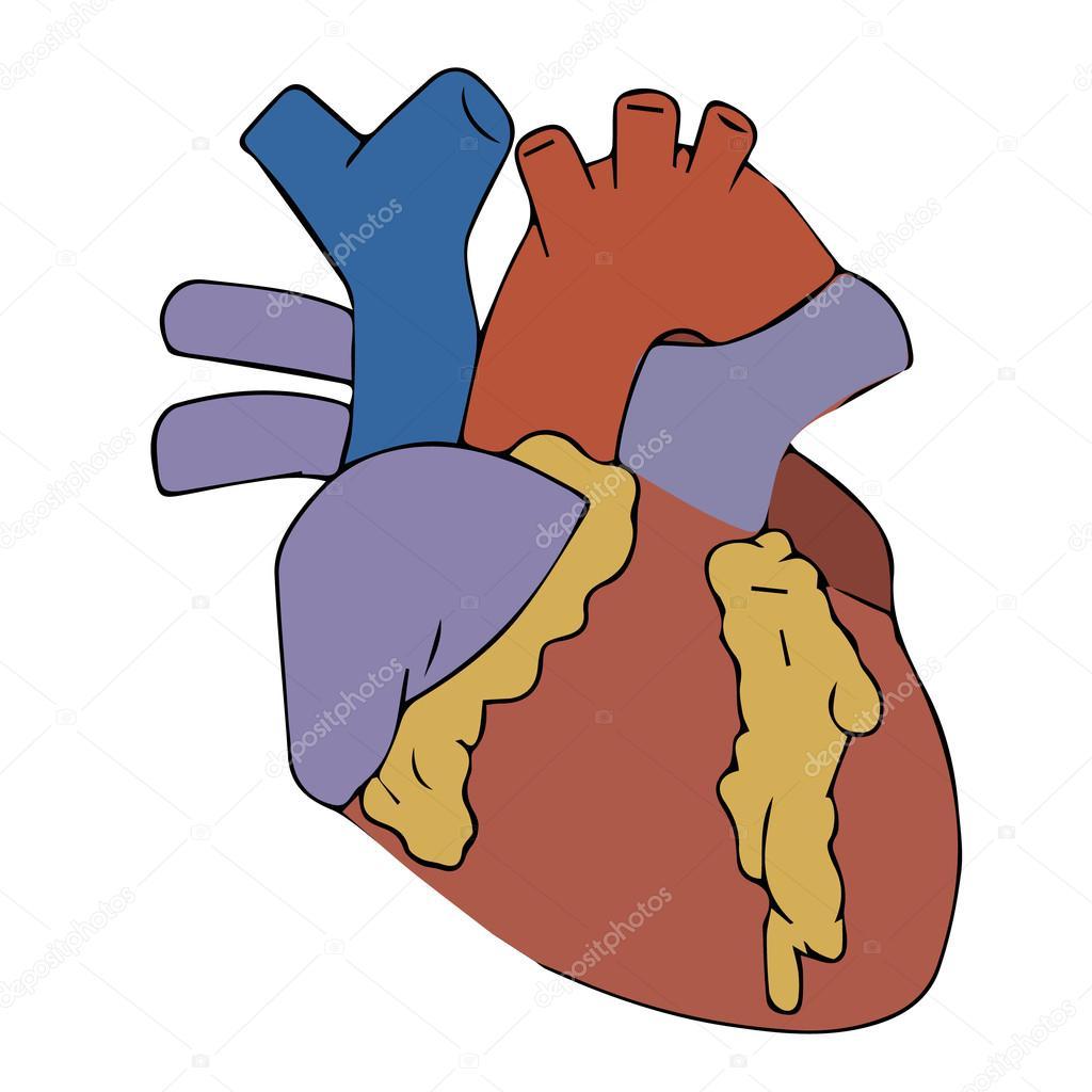 Heart Organ Art Heart Vector Illustration Human Heart