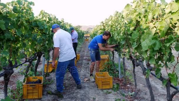 Egy csomó-ból szőlő betakarító termelők