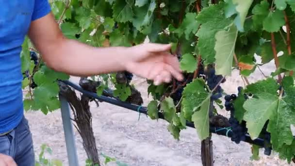Farmer harvesting a bunch of grapes
