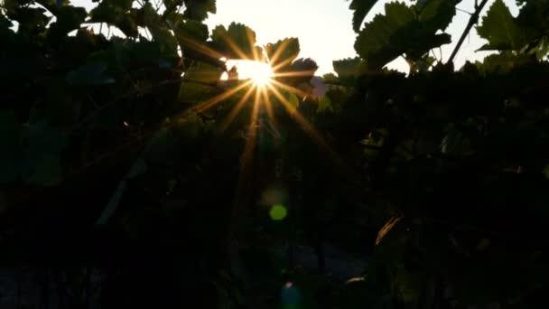 Friss szőlő szőlő udvarban