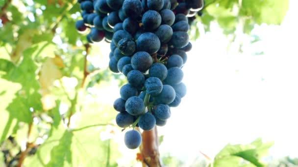 csomó érett szőlő