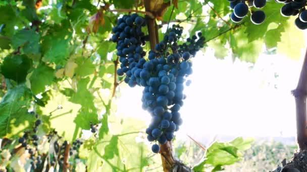bunch ripe grapes