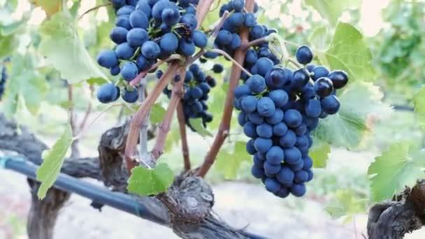 A gazda begyűjti a szőlő egy csomó