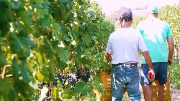 Farmers harvesting a bunch of grapes