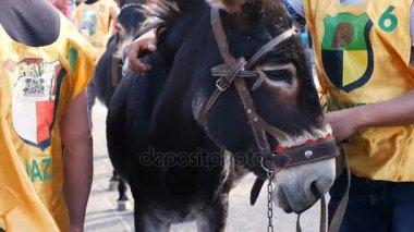 Close up on nice donkey during donkey race