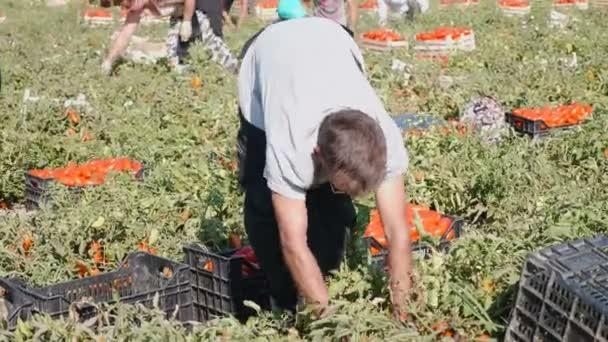 farmář sklízí zralé rajčata-24 srpna 2017, Rossano, Itálie