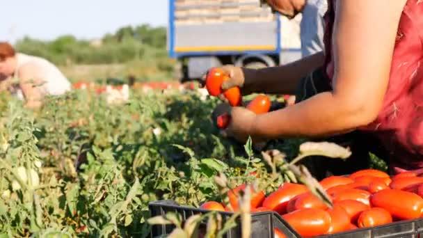 Starý farmář výdej čerstvých rajčat