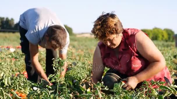zemědělci sběr rajčat v poli