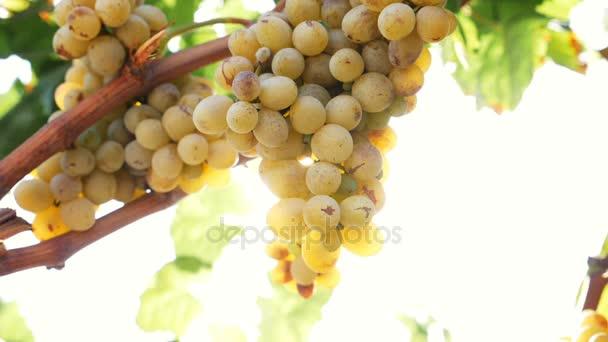 paprsek světla na hrozny ve vinici