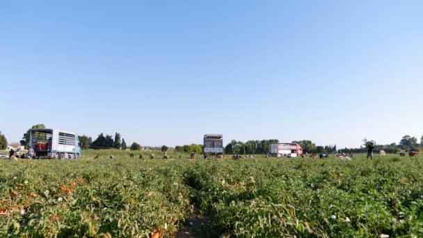 Sklizeň rajčat v létě