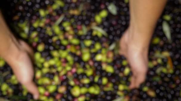 farmer hands take freshly picked fresh olives