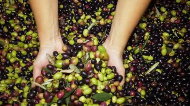 a női kéz elfoglalják frissen szedett friss olivabogyóval