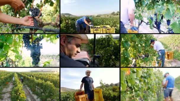 složení na sklizeň hroznů, produkce vína na vinici v jižní Itálii