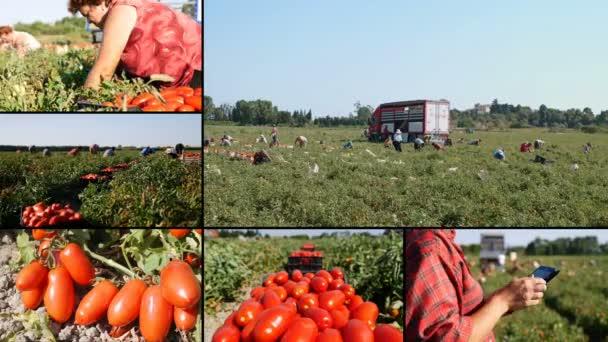 zemědělci sklizeň rajčat v jihu Itálie - Multiscreen