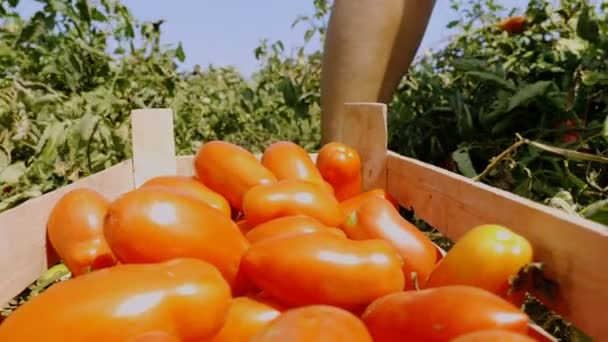 Putting ripe tomatoes in the box- Harvesting Tomatoes in south of Italy