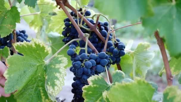 Dél-Olaszország, Calabria: fénysugár szőlő csomó-közelről