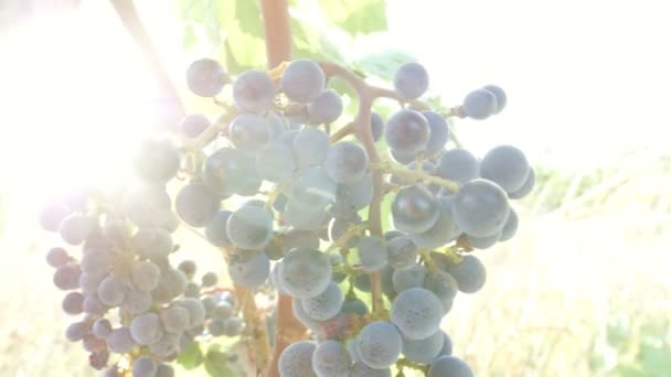 Ray of light on grape bunch.nature, prosperity, growth