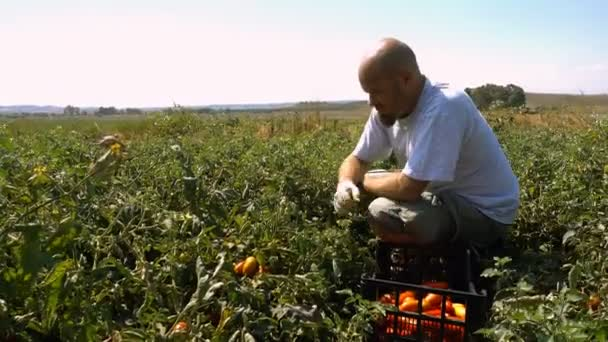 Farmer picking tomatoes in Summer at South of Italy
