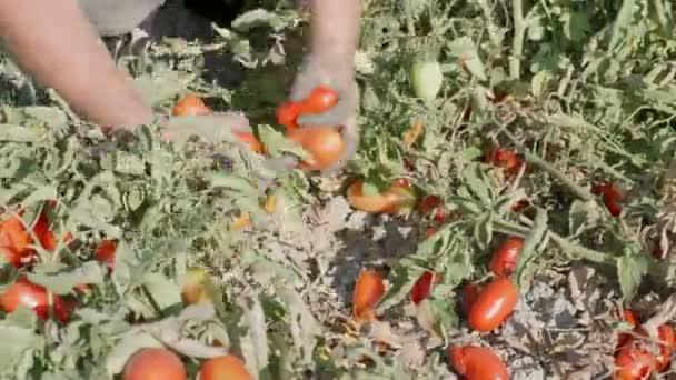 Sklizeň rajčat. Ženské ruce výdeje rajčata v křoví