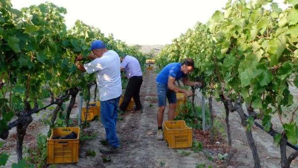 Jižně od Itálie: zemědělci sklizeň hroznů vinice