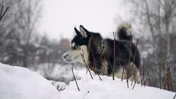 Pes sibiřský husky na zimní pozadí. Zpomalený pohyb