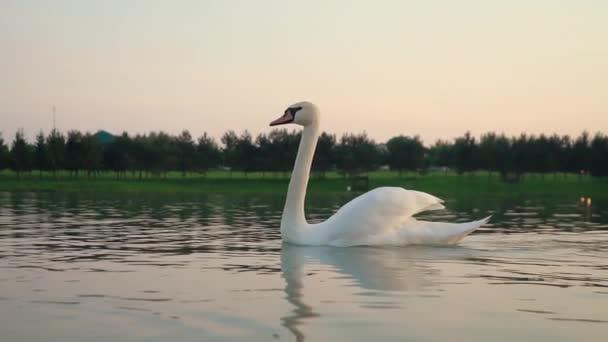 bílá labuť plave v řece proti venkovské přírodě při západu slunce