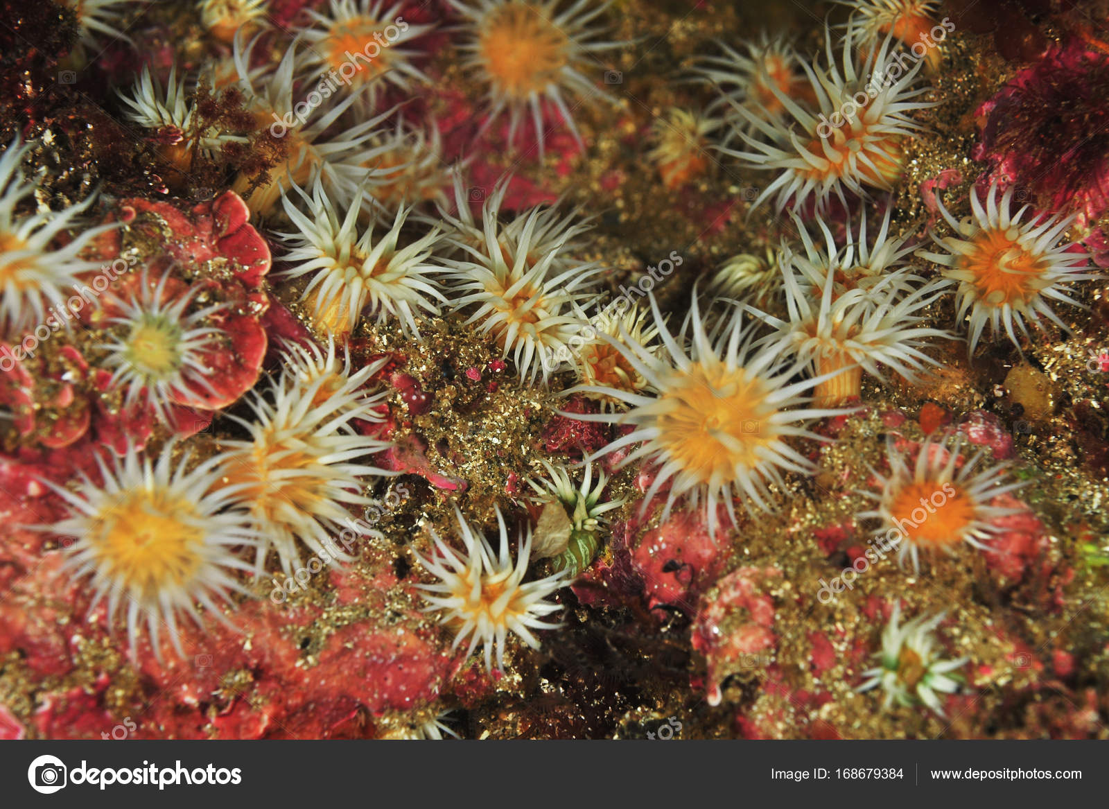 Garden of white striped anemones — Stock Photo © spiderment #168679384