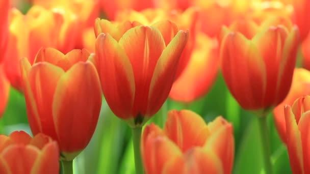Színes tulipánok nőnek és virágoznak egymás mellett a virágoskertben..