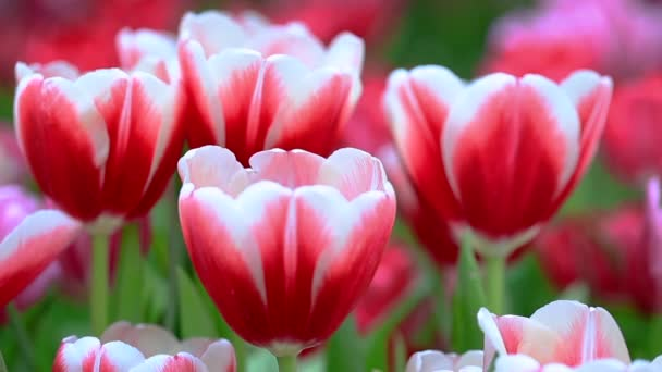 Colorful tulips grow and bloom in close proximity to one another in flower garden. Red and white tulips.