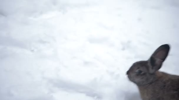 Kaninchen geht durch den Schnee