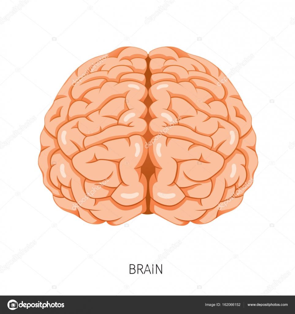 Brain, Human Internal Organ Diagram — Stock Vector © MatoomMi #162066152