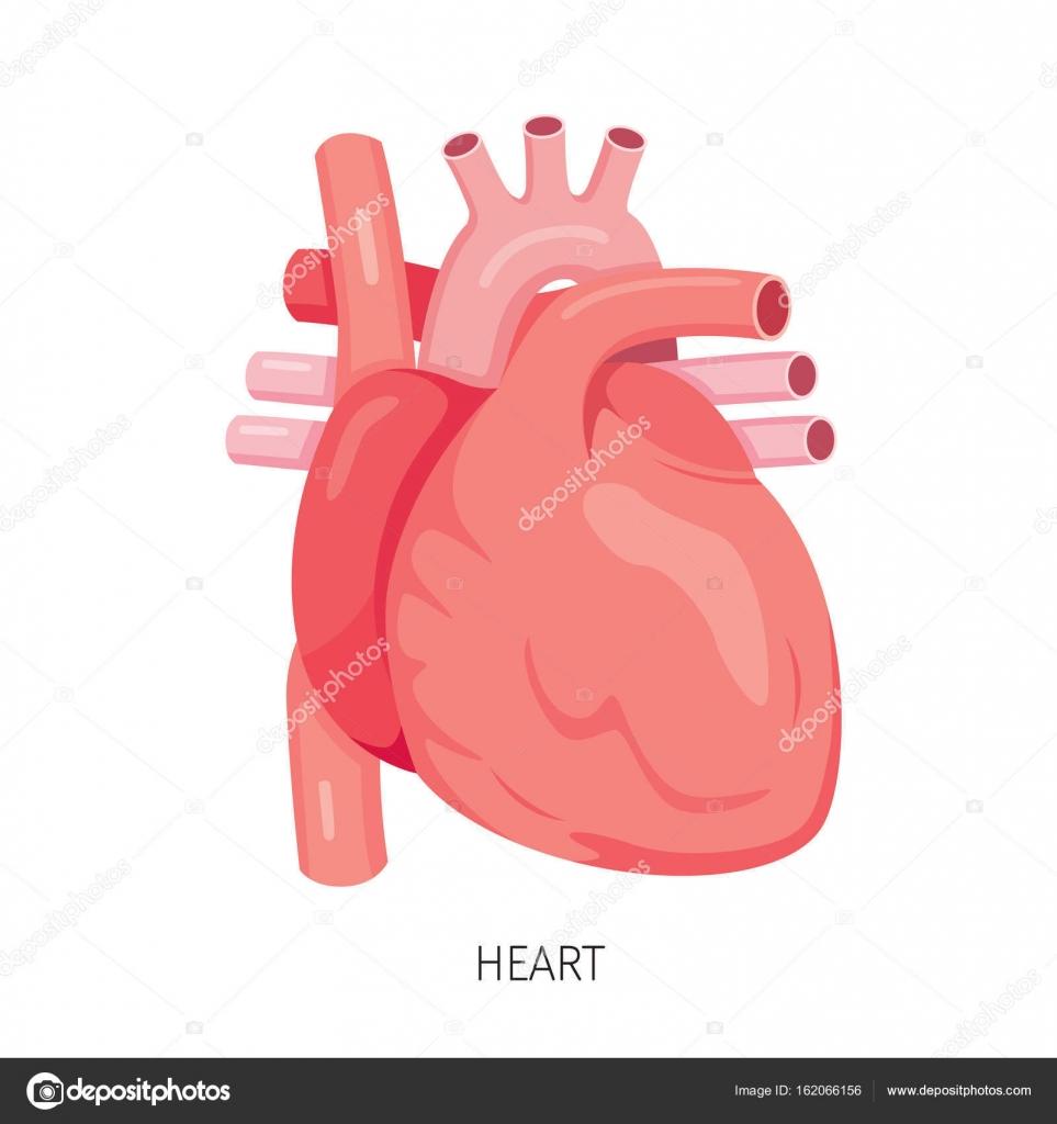 Heart, Human Internal Organ Diagram — Stock Vector © MatoomMi #162066156