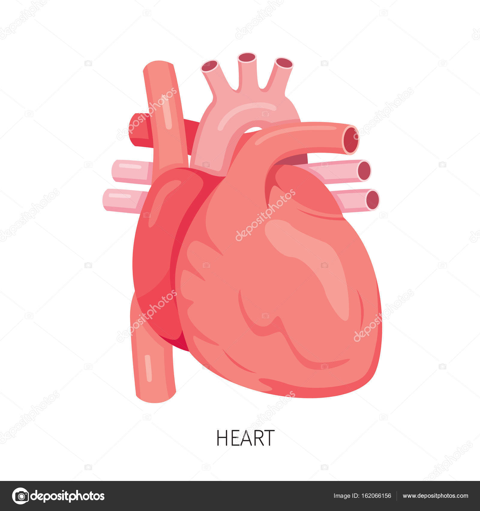 Corazón, órgano interno humano diagrama — Vector de stock © MatoomMi ...