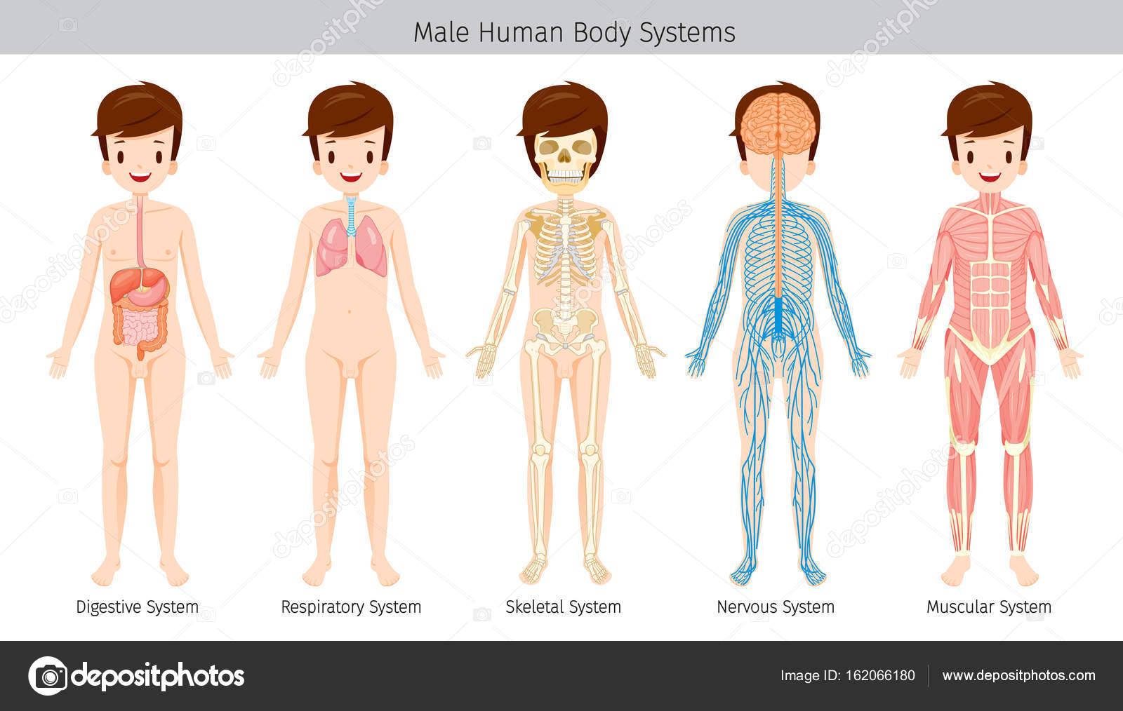 Männliche menschliche Anatomie, Körpersysteme — Stockvektor ...