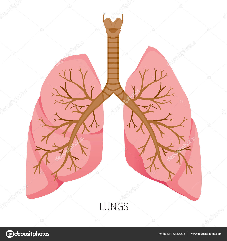 Lungs Human Internal Organ Diagram Stock Vector Matoommi 162066208