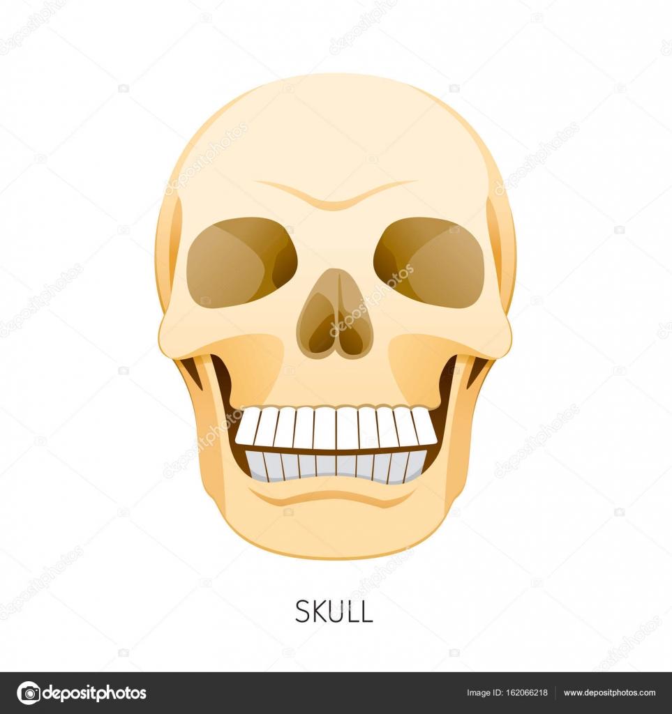 Cráneo, los órganos internos humanos órgano diagrama — Vector de ...