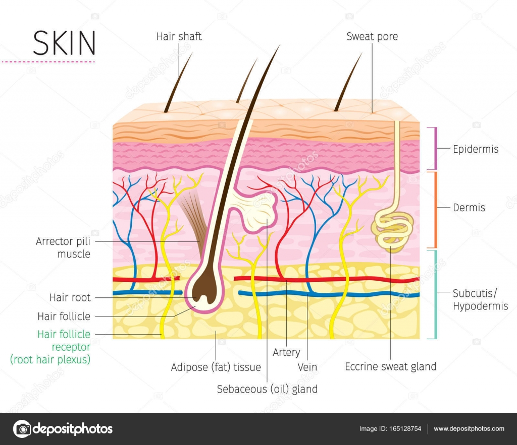 Human Anatomy Skin And Hair Diagram Stock Vector Matoommi