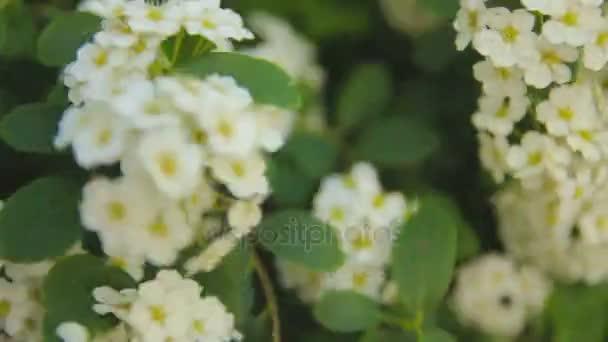 Sträucher und Bäume mit weißen Blumen im park — Stockvideo © taras ...