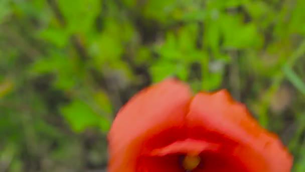 Egy mezőben Pipacsok piros pipacs virága. A mező, a fű között piros pipacs virága