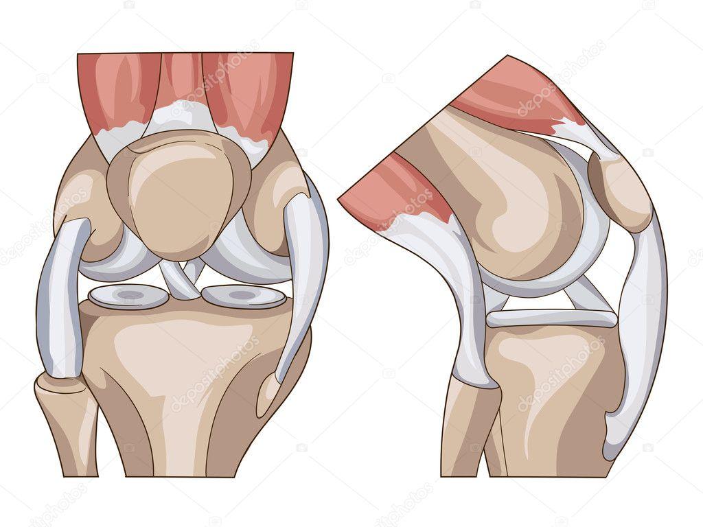 Anatomie. Aufbau Knie gemeinsamen Vektor — Stockvektor ...